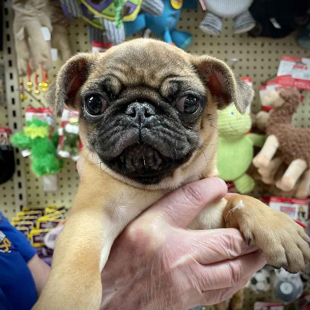 Male Pug Puppy for sale